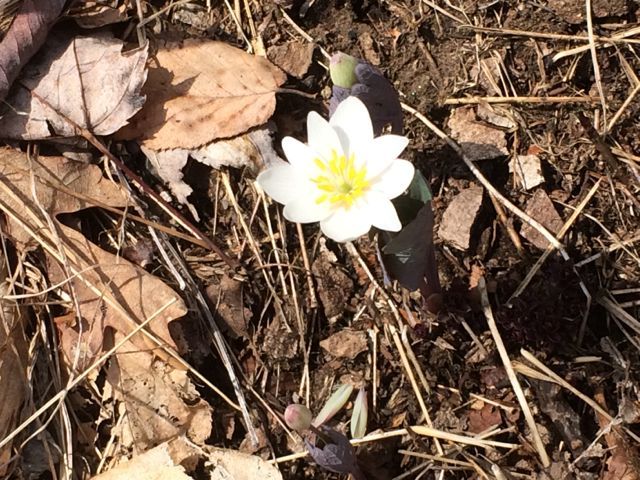 Little Pisgah Tunnel Bloodroot3