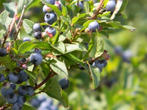 NC Blueberries