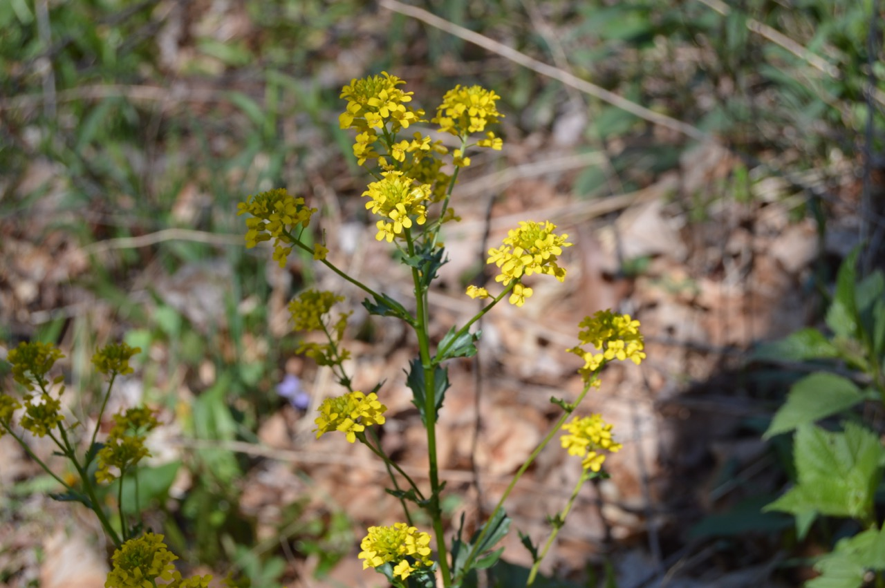 CommonWinterCress11